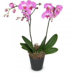 Deep pink Orchid (Phalaenopsis) in cachepot
