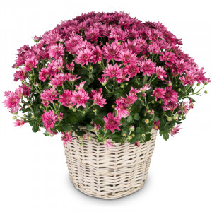 Chrysanthemum (pink) in a basket